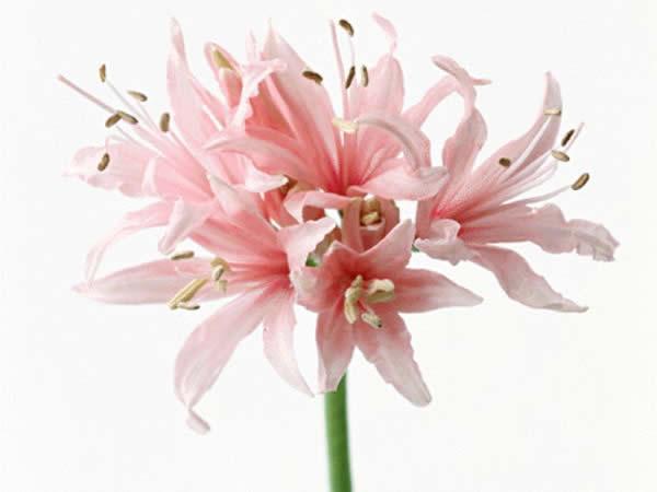 10月13日 ネリネ Nerine 366日への旅 誕生花編 今日は誕生花