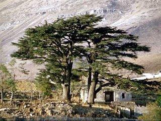 レバノンスギの画像 p1_11